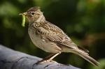 oiseaux,pesticides,écologie,biodiversité